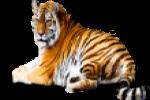tijger in het frans
